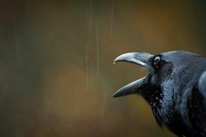 black crow, beak open